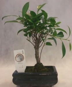 Bonsai japon ağacı bitkisi satışı  Karaman hediye çiçek yolla