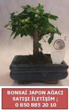 Japon ağacı minyaür bonsai satışı  Karaman çiçekçiler