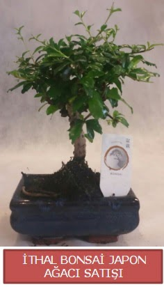 İthal küçük boy minyatür bonsai ağaç bitkisi  Karaman internetten çiçek satışı