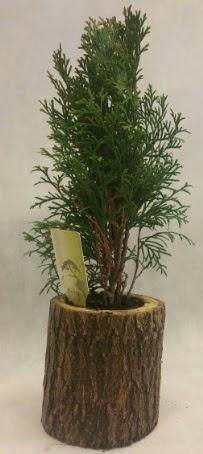 SINIRLI STOK Selvi Bonsai Doğal kütükte  Karaman ucuz çiçek gönder