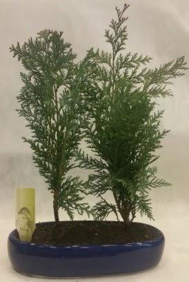 SINIRLI SAYIDA Selvi Ağacı bonsai ikili  Karaman internetten çiçek satışı