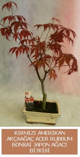 Amerikan akçaağaç Acer Rubrum bonsai  Karaman kaliteli taze ve ucuz çiçekler