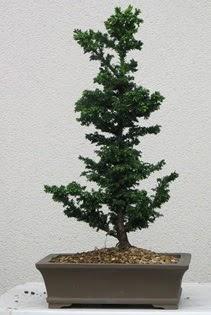Çam ağacı bonsai bitkisi satışı  Karaman internetten çiçek satışı