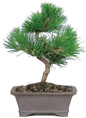 Çam ağacı bonsai japon ağacı bitkisi  Karaman çiçek siparişi sitesi