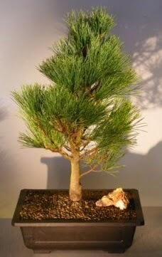 Çam ağacı japon ağacı bitkisi bonsai  Karaman internetten çiçek satışı