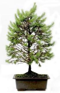 *** STOKTA YOK - Çam ağacı bonsai bitkisi satışı  Karaman çiçek mağazası , çiçekçi adresleri