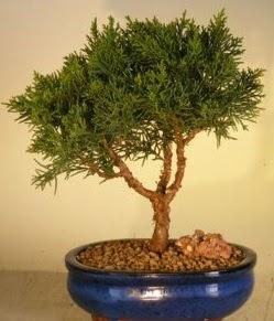 Servi çam bonsai japon ağacı bitkisi  Karaman çiçekçi mağazası