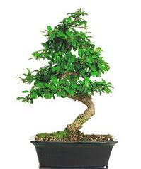 Bonsai bitkisi satışı  Karaman internetten çiçek satışı