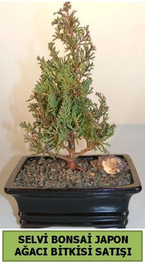 Selvi çam japon ağacı bitkisi bonsai  Karaman internetten çiçek satışı