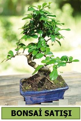 Çam bonsai japon ağacı satışı  Karaman çiçekçiler