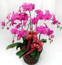Sepet içerisinde 5 dallı lila orkide  Karaman çiçek siparişi vermek