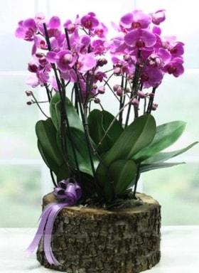 Kütük içerisinde 6 dallı mor orkide  Karaman çiçek siparişi vermek