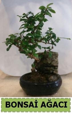 Bonsai ağacı japon ağacı satışı  Karaman online çiçek gönderme sipariş