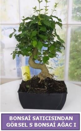 S dal eğriliği bonsai japon ağacı  Karaman çiçekçiler
