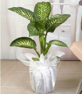 Tropik saksı çiçeği bitkisi  Karaman çiçekçiler