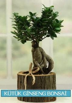 Kütük ağaç içerisinde ginseng bonsai  Karaman hediye çiçek yolla