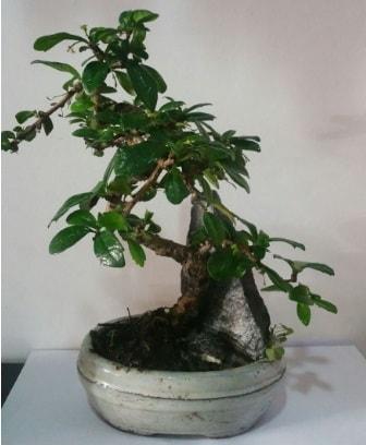 S şeklinde ithal bonsai ağacı  Karaman çiçekçi mağazası