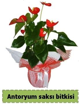 Antoryum saksı bitkisi satışı  Karaman internetten çiçek siparişi