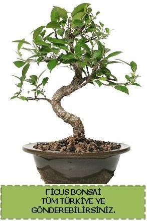 Ficus bonsai  Karaman hediye çiçek yolla