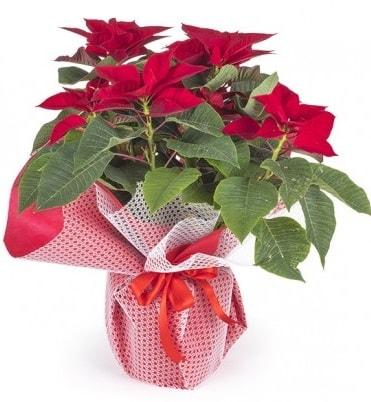 Atatürk çiçeği saksı bitkisi  Karaman hediye çiçek yolla
