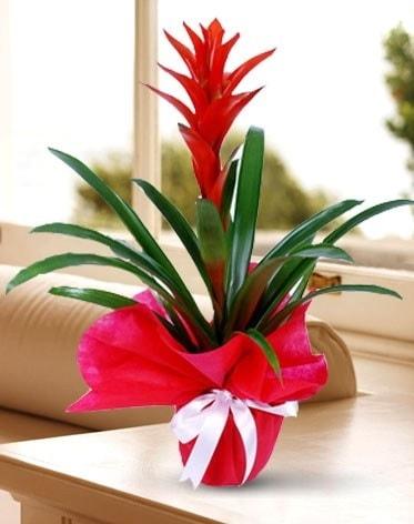 Guzmanya Saksı Çiçeği  Karaman çiçekçi mağazası