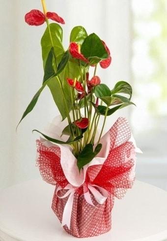 Anthurium Saksı Çiçeği  Karaman online çiçek gönderme sipariş
