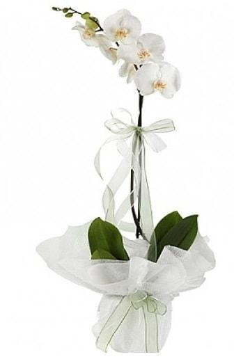 Tekli Beyaz Orkide  Karaman online çiçek gönderme sipariş