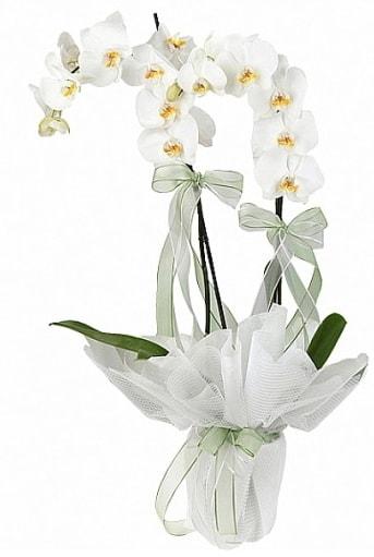 Çift Dallı Beyaz Orkide  Karaman yurtiçi ve yurtdışı çiçek siparişi