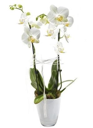 2 dallı beyaz seramik beyaz orkide saksısı  Karaman hediye çiçek yolla