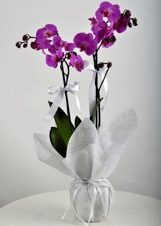 Çift dallı saksıda mor orkide çiçeği  Karaman hediye sevgilime hediye çiçek