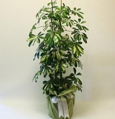 Şeflera salon bitkisi  Karaman çiçek siparişi sitesi