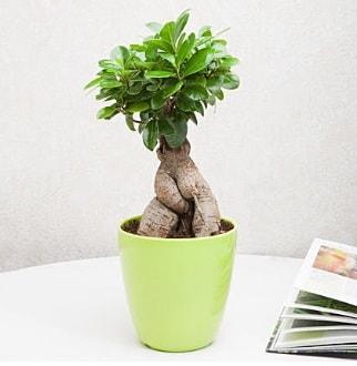 Ficus Ginseng Bonsai  Karaman güvenli kaliteli hızlı çiçek