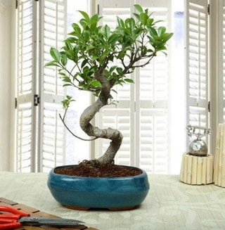 Amazing Bonsai Ficus S İthal  Karaman anneler günü çiçek yolla