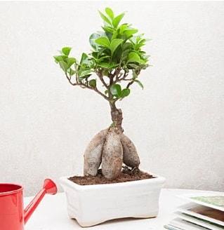 Exotic Ficus Bonsai ginseng  Karaman İnternetten çiçek siparişi