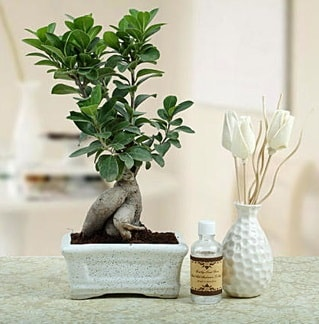 Ginseng ficus bonsai  Karaman 14 şubat sevgililer günü çiçek