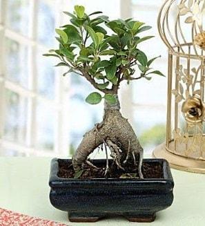 Appealing Ficus Ginseng Bonsai  Karaman yurtiçi ve yurtdışı çiçek siparişi