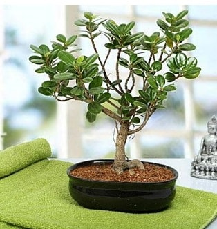Lovely Ficus Iceland Bonsai  Karaman yurtiçi ve yurtdışı çiçek siparişi