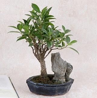 Japon ağacı Evergreen Ficus Bonsai  Karaman hediye çiçek yolla