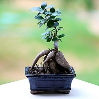 Marvellous Ficus Microcarpa ginseng bonsai  Karaman hediye sevgilime hediye çiçek