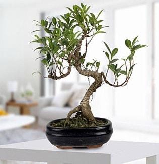 Gorgeous Ficus S shaped japon bonsai  Karaman çiçekçi telefonları