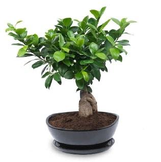 Ginseng bonsai ağacı özel ithal ürün  Karaman uluslararası çiçek gönderme