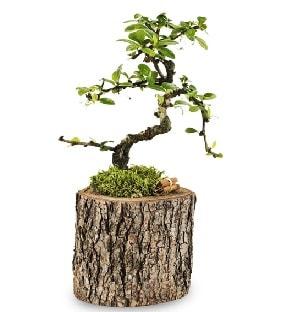 Doğal kütükte S bonsai ağacı  Karaman çiçekçiler