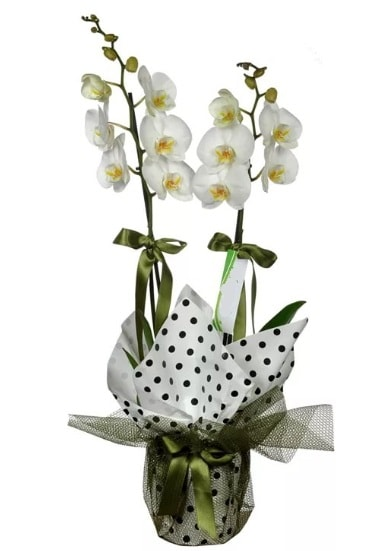 Çift Dallı Beyaz Orkide  Karaman güvenli kaliteli hızlı çiçek