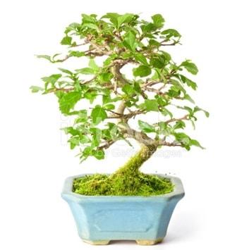 S zerkova bonsai kısa süreliğine  Karaman ucuz çiçek gönder