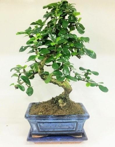 S Bonsai japon ağacı bitkisi  Karaman kaliteli taze ve ucuz çiçekler