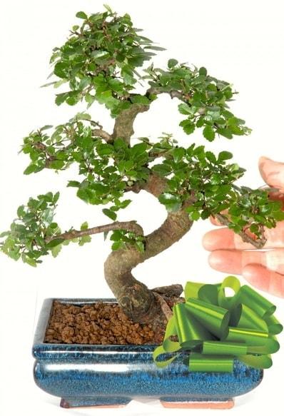 Yaklaşık 25 cm boyutlarında S bonsai  Karaman cicekciler , cicek siparisi