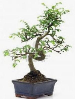 S gövde bonsai minyatür ağaç japon ağacı  Karaman çiçekçiler