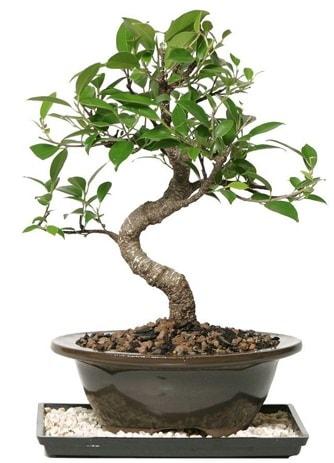 Altın kalite Ficus S bonsai  Karaman internetten çiçek satışı  Süper Kalite