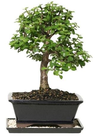 15 cm civarı Zerkova bonsai bitkisi  Karaman cicekciler , cicek siparisi