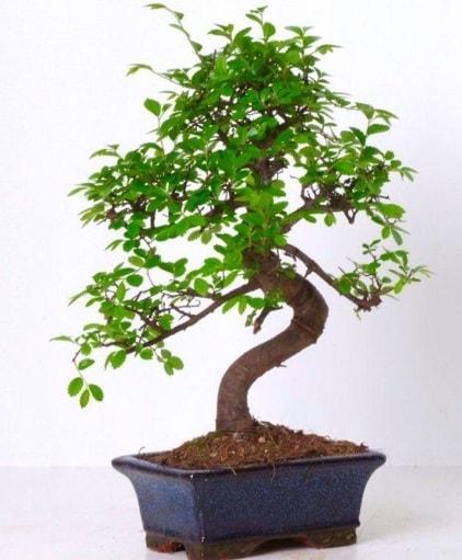 S gövdeli bonsai minyatür ağaç japon ağacı  Karaman hediye çiçek yolla